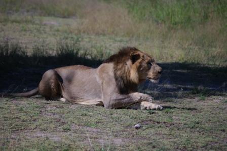 lion-alert